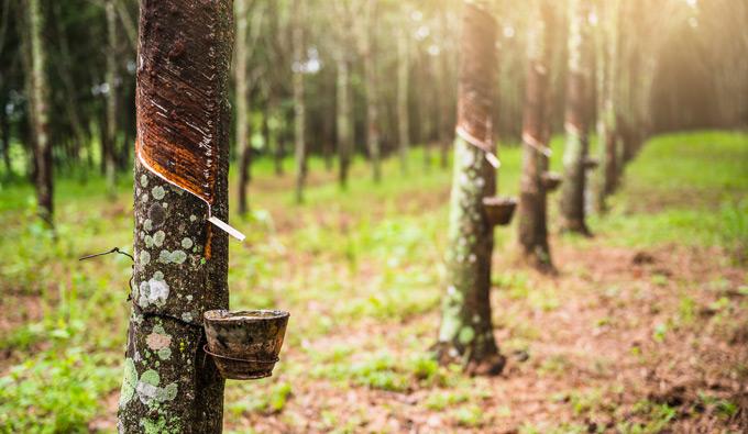 Latex Natural obtenido del árbol del caucho